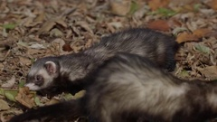 Ferrets walking around in autumn leaves Stock Footage
