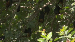 Greater Indian Fruit Bats ( Pteropus giganteus) roosting in a tree, Low angle Stock Footage