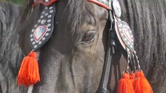 Horse Parade Harness Stock Footage
