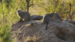 Banded mongoose colony on a termite mound in masai mara Stock Footage