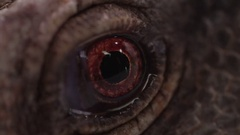 Monitor Lizard close up macro eyeball Stock Footage
