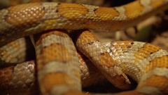 Corn snake coiled up in bunch on ground Stock Footage