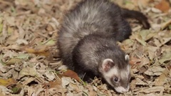 Ferret sniffing around in autumn leaves Stock Footage