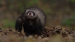 Ferret scratching itself in slow motion Stock Footage