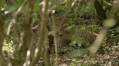 Leopard (Panthera pardus) relaxing in the forest shades. Lock shot in high Stock Footage
