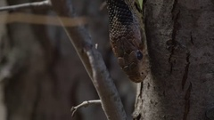 Snake close up in tree tongue slow motion Stock Footage