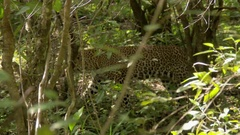 Leopard (Panthera pardus) walking in forest Arkistovideo