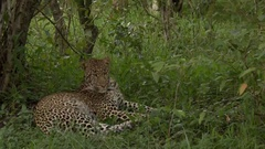 Leopard (Panthera pardus) lying under a tree, biting at flies Arkistovideo