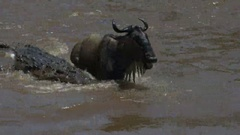 Close up of a large crocodile attacking an adult wildebeest in the mara river Stock Footage