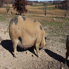 Farm Hog in the pig pen Stock Footage