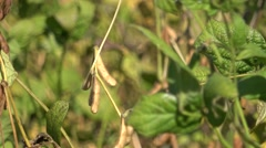 Soybean field in Vojvodina Stock Footage