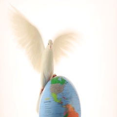 The white pigeon flies over the globe on a white background Stock Footage