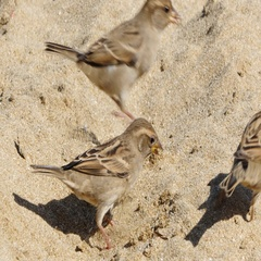 Sparrow birds jumping on the sand Stock Footage
