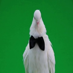 Portrait white pigeon with a black butterfly on green screen Stock Footage