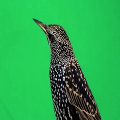 Portrait starling on green screen Stock Footage