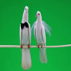 Two white wedding pigeons on green screen Stock Footage