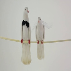 Two wedding white pigeons with bowtie and a veil isolated on white background Stock Footage