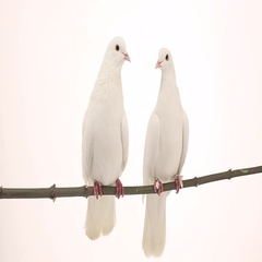 Two white pigeons sit on a branch  isolated on white  background Stock Footage