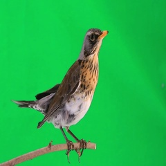 Thrush sits on a branch on a green background Stock Footage