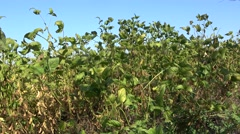 Soybean field in Vojvodina,Serbia  Stock Footage