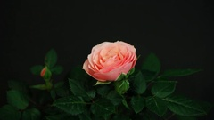 Time-lapse of opening pink hybrid tea rose Stock Footage