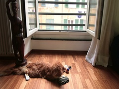 Genoa, Italy September 20, 2016: a Maine coon cat and his mobil phone Stock Footage
