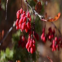Fruits of Berberis vulgaris in fall - Gran Paradiso National Park Stock Footage