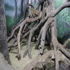 The South American coati in zoo. Nasua Stock Footage