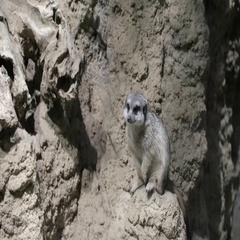 Meerkat in the zoo. Suricata suricatta. Family mangustov Stock Footage