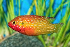 Portrait of cichlid fish (Hemichromis sp.) in aquarium Stock Photos