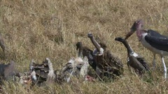 Wide shot of vultures feeding on a dead zebra in masai mara Stock Footage