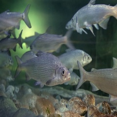 A flock of fish in the aquarium Stock Footage