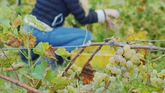 Collect the grapes in the foreground cluster of grapes, in the background a Stock Footage