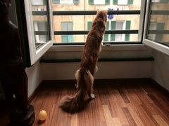 A Maine coon cat red tabby and white is waiting at the window Stock Footage