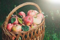 Basket with apples harvest in fall garden Kuvituskuvat