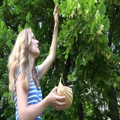 Natural medicine student pick linden blossom in wicker basket. 4K Stock Footage