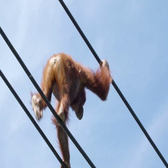 A brown Orangutan walking on the hanging rope Stock Footage