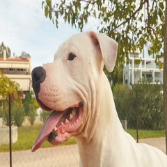 Happy Dogo Argentino dog portrait at a park. Stock Footage