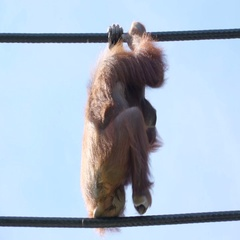 Two Orangutans walking on the hanging rope Stock Footage