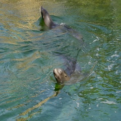 Two seals swimming on the lake water Stock Footage