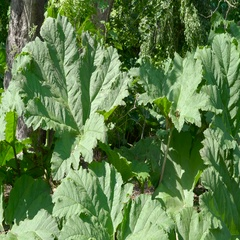 A green big leaf plant in the garden Stock Footage