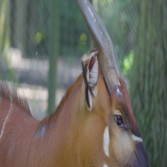 Closer look of the horse-like animal with long horns Stock Footage