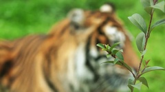 Bengal tiger (Panthera tigris) Stock Footage