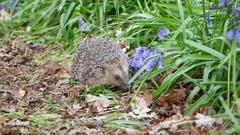 Hedgehog ( Erinaceidae ) in a Carpet of Bluebells Stock Footage