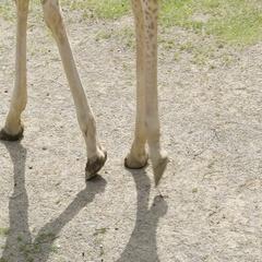 Long legged giraffe walking on the small zoo Stock Footage