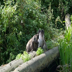 Four gray apes sitting on the log in the forest Stock Footage