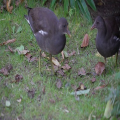 Two black birds picking foods on the ground Stock Footage