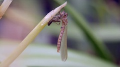 Large Red Damselfly Newly Emerged Stock Footage