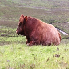 The Brown Cow resting on field.  Stock Footage