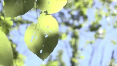 Leaves of tree blowing in calm wind detail shot 4k Stock Footage
